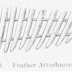 Fig 30 Feather Attachment of Fan