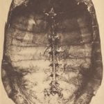 Turtleshell used by the Mattaponi for dishing turtle stew.